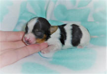 Biewer Terrier Pups Available Scotland