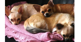 Adult Chihuahuas Looking for Retirement Homes